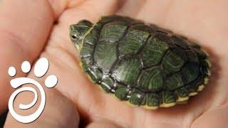 Мифы Про Содержание Черепах. Все О Домашних Животных