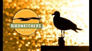 BIRDWATCHERS: Poland - Documentary Series TRAILER