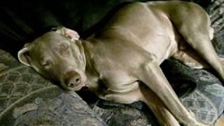 Sunday Nap - Weimaraner Snores - Turn Sound Up