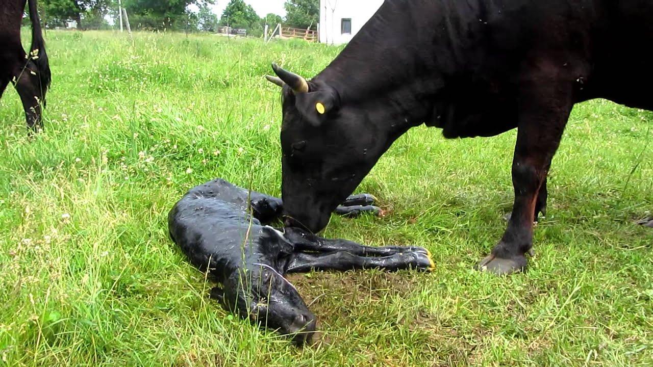 dexter cow calving on morningside farm youtube
