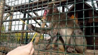 Жадная обезьяна и соломка