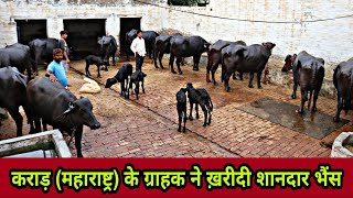 These Buffaloes available for …