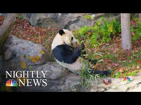 National Zoo Says 'Bye Bye Bei Bei' As Panda Leaves For China | NBC Nightly News