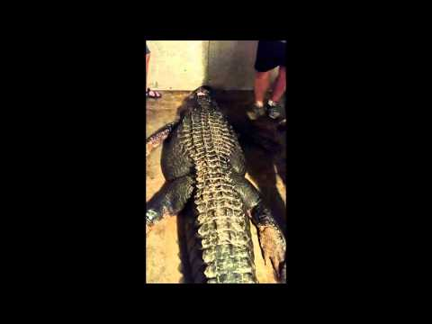 Footage shows record 920 pound alligator being caught in Lake Eufaula