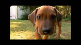 Dogs 101  Rhodesian Ridgeback