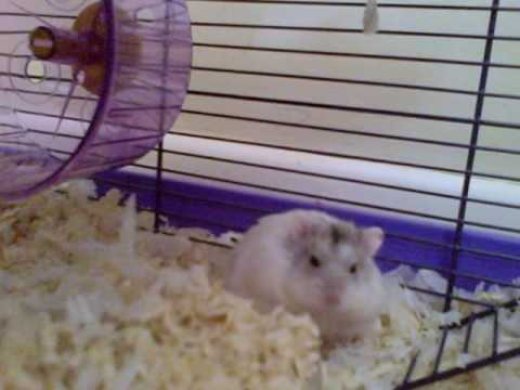 Baby Russian Dwarf Hamsters in their cage - YouTube  Baby Russian Dw...