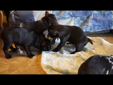 Adorable ICA Registered Frenchton Puppies For Sale Mansfield, OH