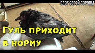 Птенец голубя, понемногу идет на поправку