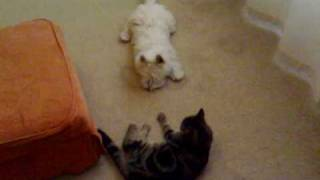 Westie Puppy Fighting With Tabby Cat