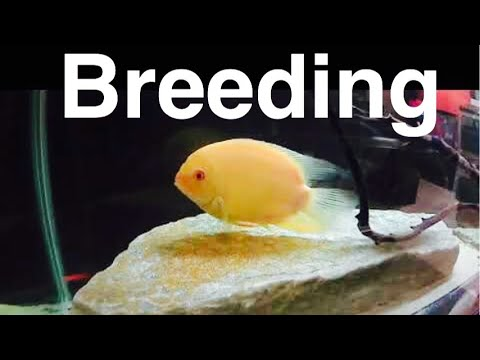 Breeding Severum Cichlids - Eggs And Female Info