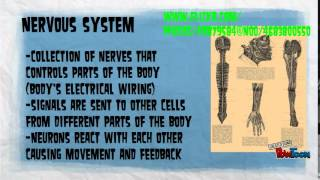 Human Body Project Circulatory and Nervous System
