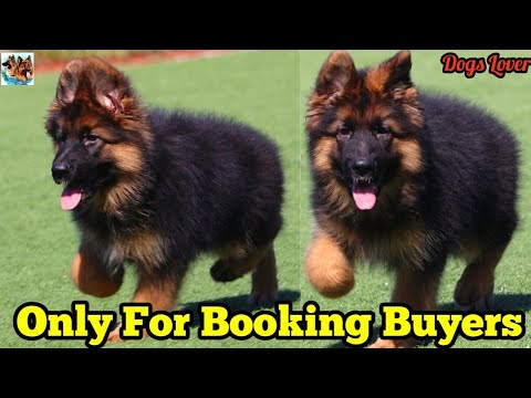 Champion Bloodlines GSD Puppies Only For Booking Buyers 🐶