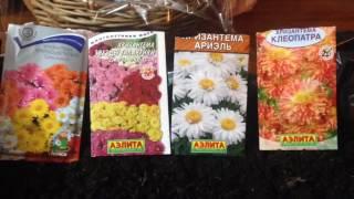 Выращивание хризантем из семян ( вырастить их очень просто )