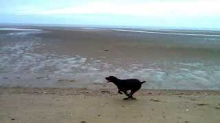German Short Haired Pointer Playing On The Beach