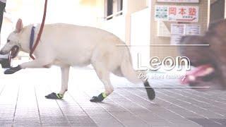 レオンくん、初めてのドッグシューズ!ホワイト・スイス・シェパード・ドッグ