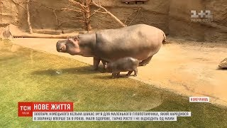 Зоопарк німецького Кельна шукає ім'я для маленького гіпопотамчика