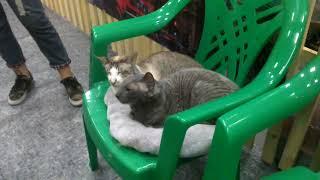 Кошка-ориентал