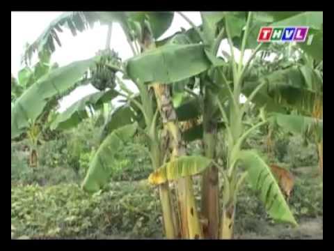 Trồng chuối xiêm xen vườn cây ăn trái