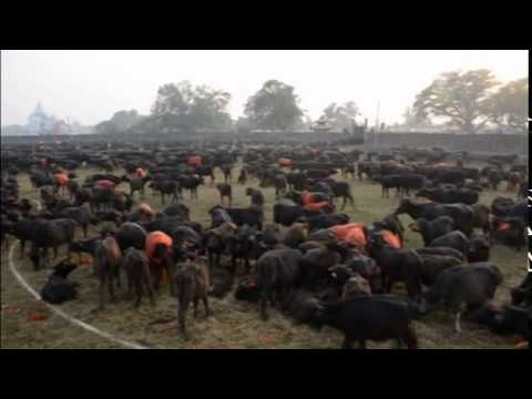 animal right in nepal Animal rights nepal animals life in nepal cage news  balancing the  ecosystem for the protection of animal rights is the need of the hour.