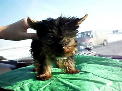 caini yorkshire terrier toy de vanzare youtube. Black Bedroom Furniture Sets. Home Design Ideas