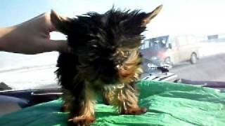Caini Yorkshire Terrier Toy De Vanzare