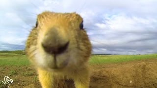 Prairie Dogs Talk To Each Other With Their Own Secret Language