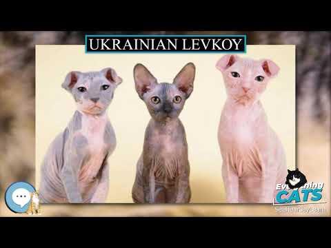 Ukrainian Levkoy  EVERYTHING CATS