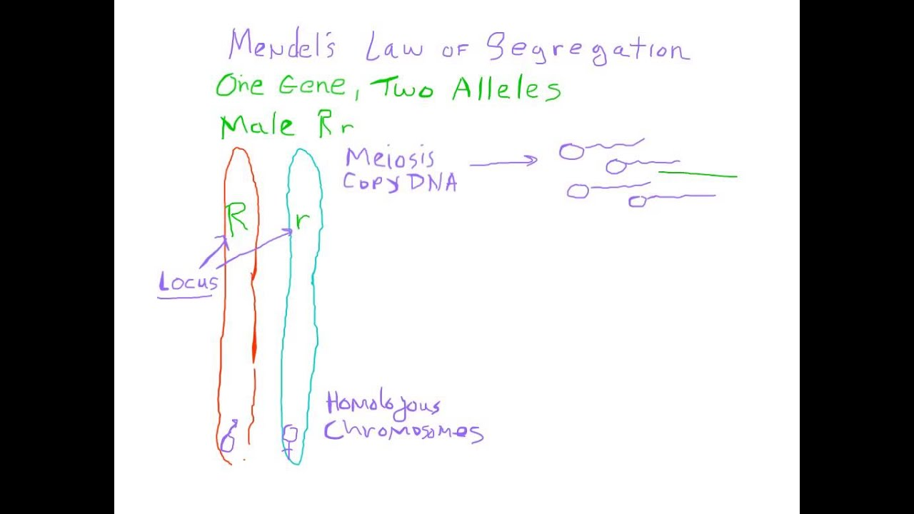 An Introduction to Mendelian Genetics | Biomolecules ...