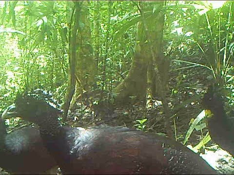 rainforest - animal videos from guatemala
