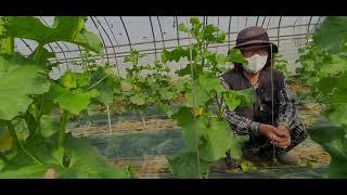 (게르마늄농업방송)한게원미네랄 메론재배 2021년4월2…