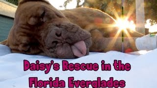 Hope For Paws in Florida  Daisy, Dogue de Bordeaux rescue (French Mastiff)  Please share