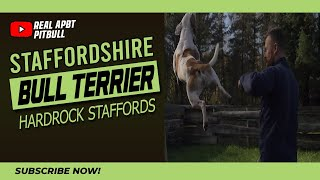 Staffordshire Bull Terrier Hardrock Staffords - Kennel Roundup