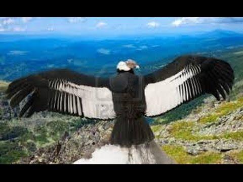 El Cndor el ave voladora ms grande del Mundo en el Per  YouTube