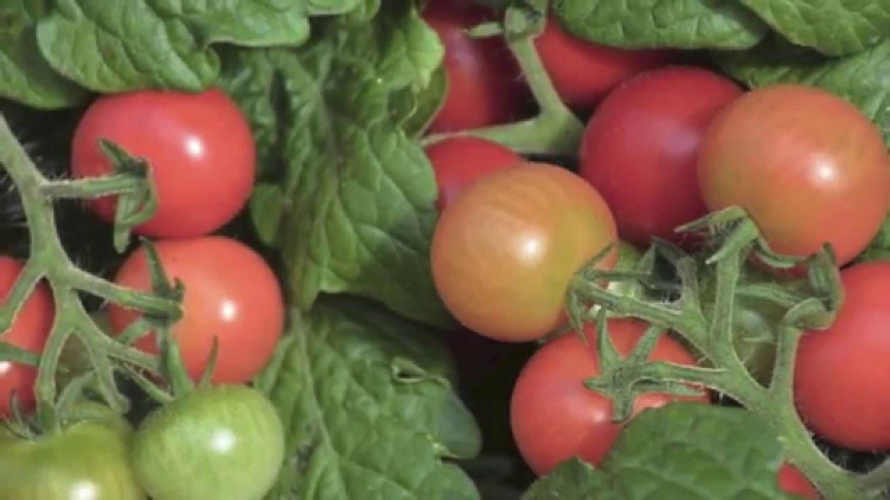 C mo plantar tomates en maceta youtube - Plantar en maceta ...