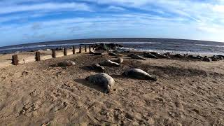 The Horsey Grey Seal Colony - Horsey Gap - 02.13.2018