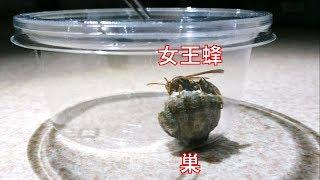 アシナガバチの巣を育てます!!怖~い女王様に新居を用意して差し上げました thumbnail