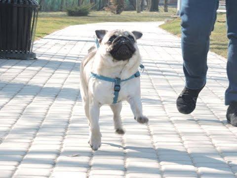 ЛУЧШИЕ ПРИКОЛЫ ПРО МОПСОВ #2 (ЛУЧШИЕ СОБАКИ) Funny Dogs