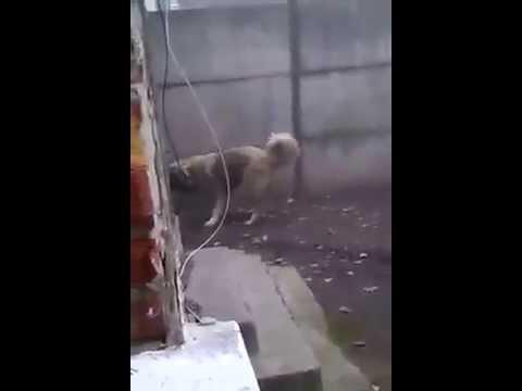 Safkan Kafkas Çoban Köpeği
