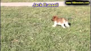 Jack Russell, Welpen, Für, Verkauf, In, Nordrhein Westfalen, Deutschland, Bayern, Hessen
