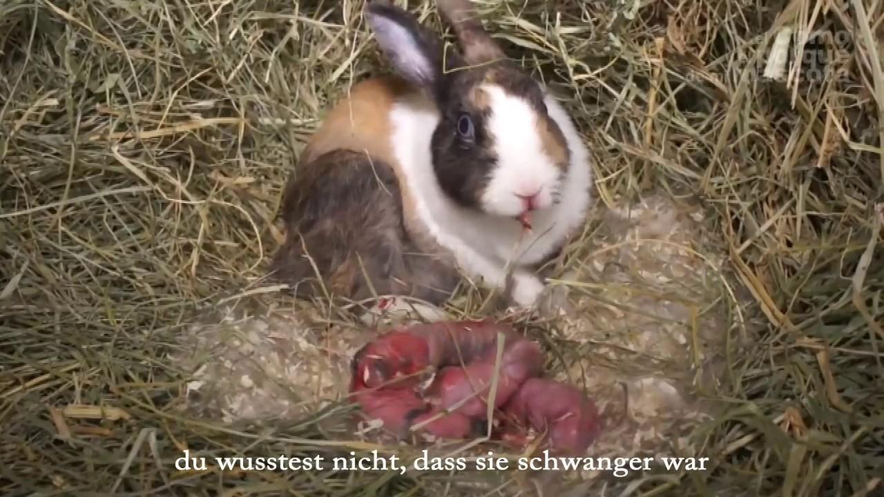 Geburt Eines Kaninchens Teil 1 Ihre Babys Youtube