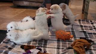 Coton Puppies For Sale - Foxy 8/17/21