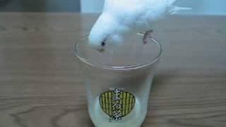 黄色い飲み物VS白い鳥~お怒り編~ I am angry at a drink 三宅梢子 動画 25