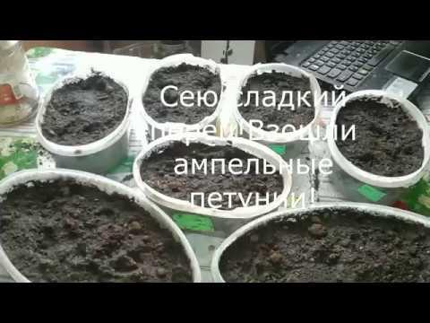 Вопрос: Когда сажать на рассаду сладкий перец в Калининградской области?