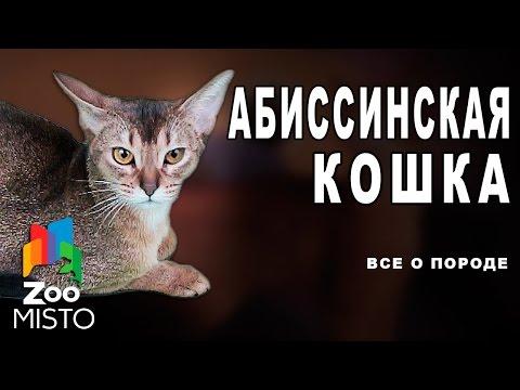 Абиссинская Кошка - Все о породе