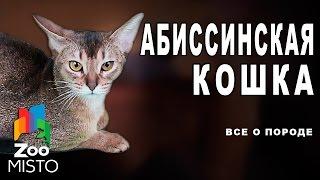 видео Абиссинская кошка (абиссинка)