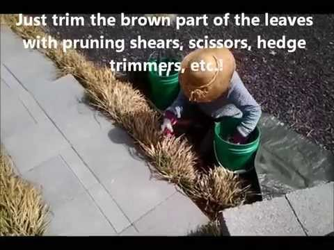 Pruning Liriope Youtube