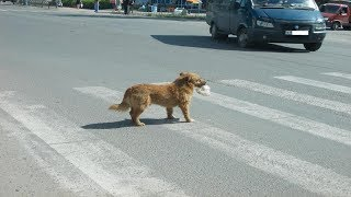 The policeman stopped road traffic, to let the lame dog pass.