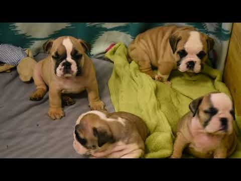 Puppies bulldogs 1,5 month (available)