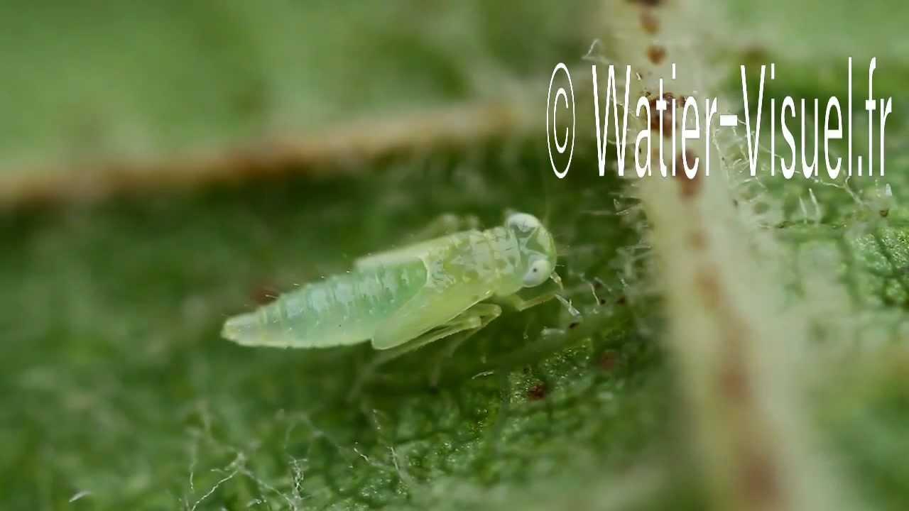 Cicadelle verte de la vigne youtube - Parasite de la vigne ...