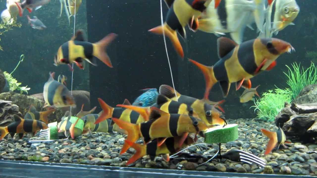 Fish Tank Wallpaper Hd Clown Loach Feeding Youtube
